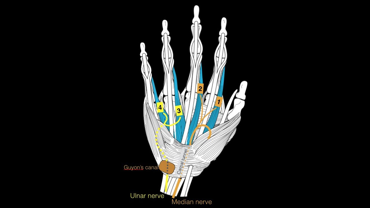Hand Muscles Youtube