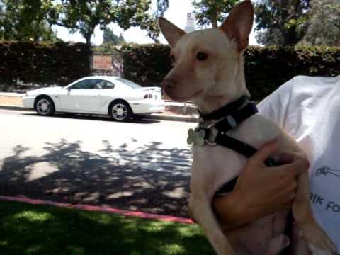 For Adoption: Nelson the Chihuahua-Pharaoh Hound Mix - YouTube