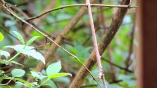 april 28 2013 16:10 - Golden-Crowned Sparrow calls