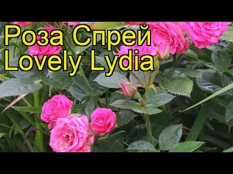 Роза спрей Лавли Лидия. Краткий обзор, описание характеристик, где купить саженцы Lovely Lydia