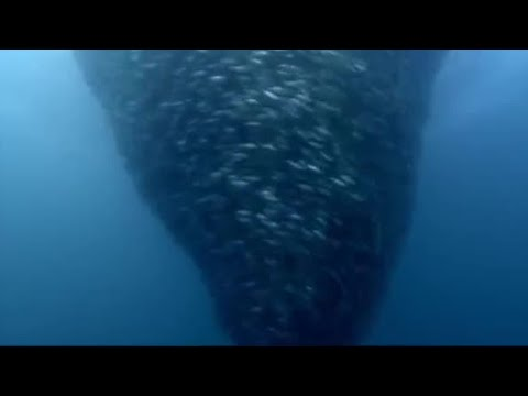 Fish Bait Ball In Open Water | Blue Planet | BBC