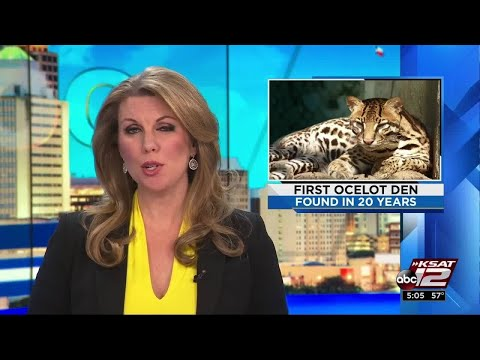 VIDEO: US Fish and Wildlife discovers first ocelot den in 20 years