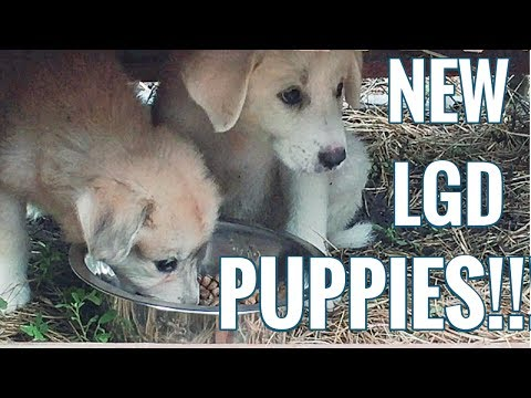 NEW PUPPIES! Anatolian Shepherd - Great Pyrenees Puppies! Our New Future Farm Dogs