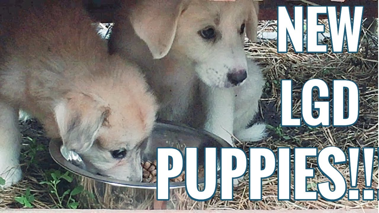 New Puppies Anatolian Shepherd Great Pyrenees Puppies Our New