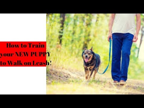 how-to-train-your-new-puppy-to-walk-on-leash!