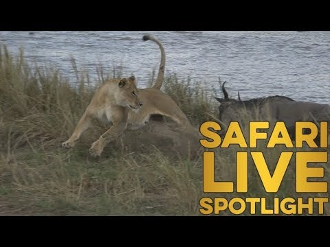 The lions of the Mara River