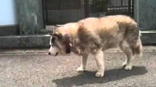 17才の老犬です。
