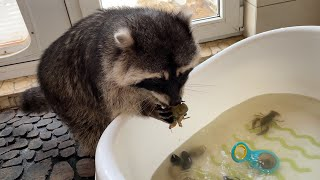 RACCOON ZEPHYRKA CATCHES CRAYFISH / Gorushka steals food from lynxes