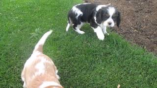 Cavalier King Charles Puppies For Sale In Pa.