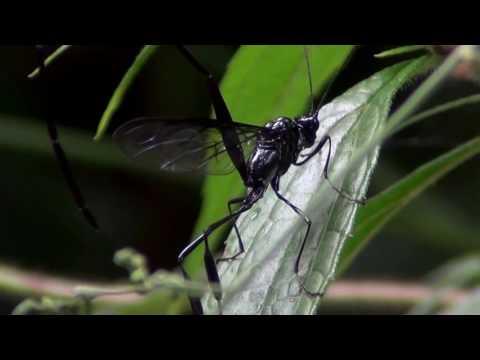 Pelecinus wasp in
