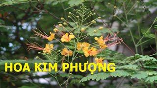 Hoa Kim phượng: Loài hoa có họ với hoa phượng đỏ - Cuộc sống quanh ta: Số 647.