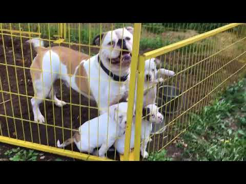 American Bulldog puppies playing with dad