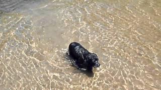 Bella My Black Cocker Spaniel Swimming.