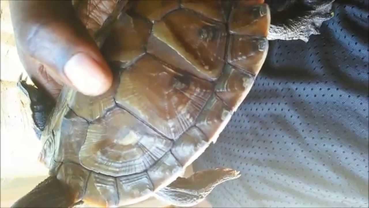 Turtle shell shedding /Peeling - YouTube