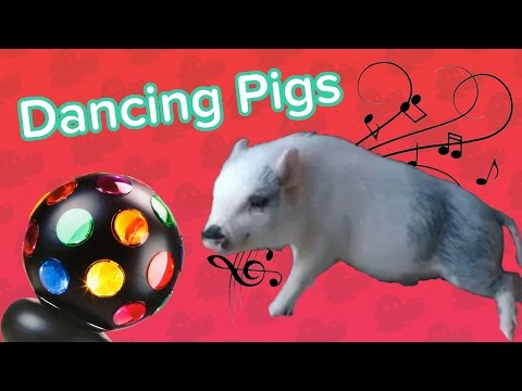 Dancing Pigs & Dizzy Cats! // Funny Animal Compilation