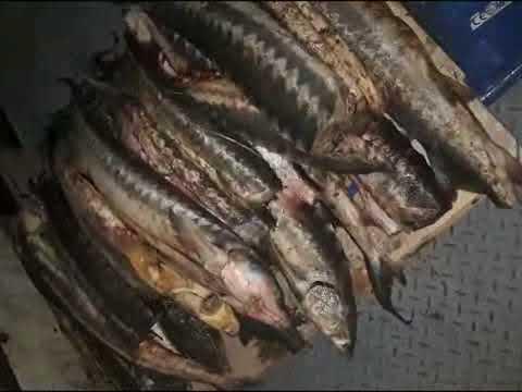 BBGI Nərə balığı