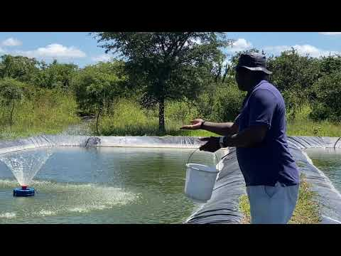 FISH FEEDING IN A POND AS A BEGINNER | TILAPIA FISH FARMING IN ZAMBIA