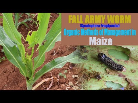 FALL ARMY WORM (Spodoptera frugiperda) Organic Methods of Management in Maize