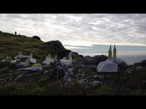 Real gannet wooing concrete gannet, Mana Island, New Zealand
