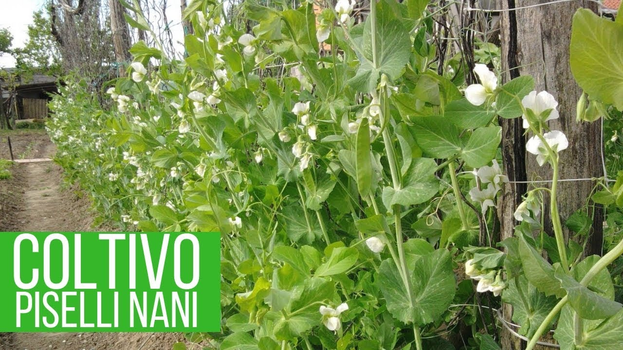 Coltivare Piselli In Vaso coltivare i piselli   la struttura ideale   orto e giardino