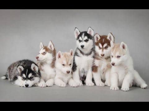slideshow-photo-of-puppy-siberian-husky-so-cute