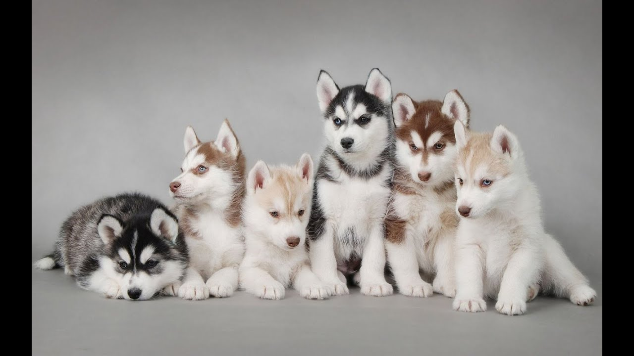 Slideshow photo of puppy siberian husky so cute youtube voltagebd Image collections