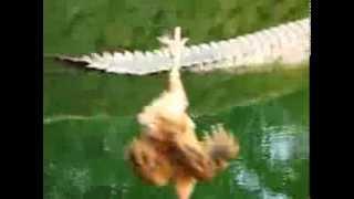 Крокодтл пожирает курицу