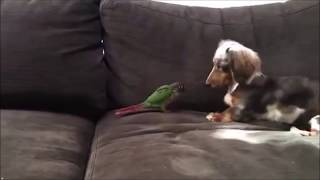 Why You Should Have A Dachshund