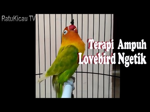 Lovebird ngetik part 1 | RatuKicau TV