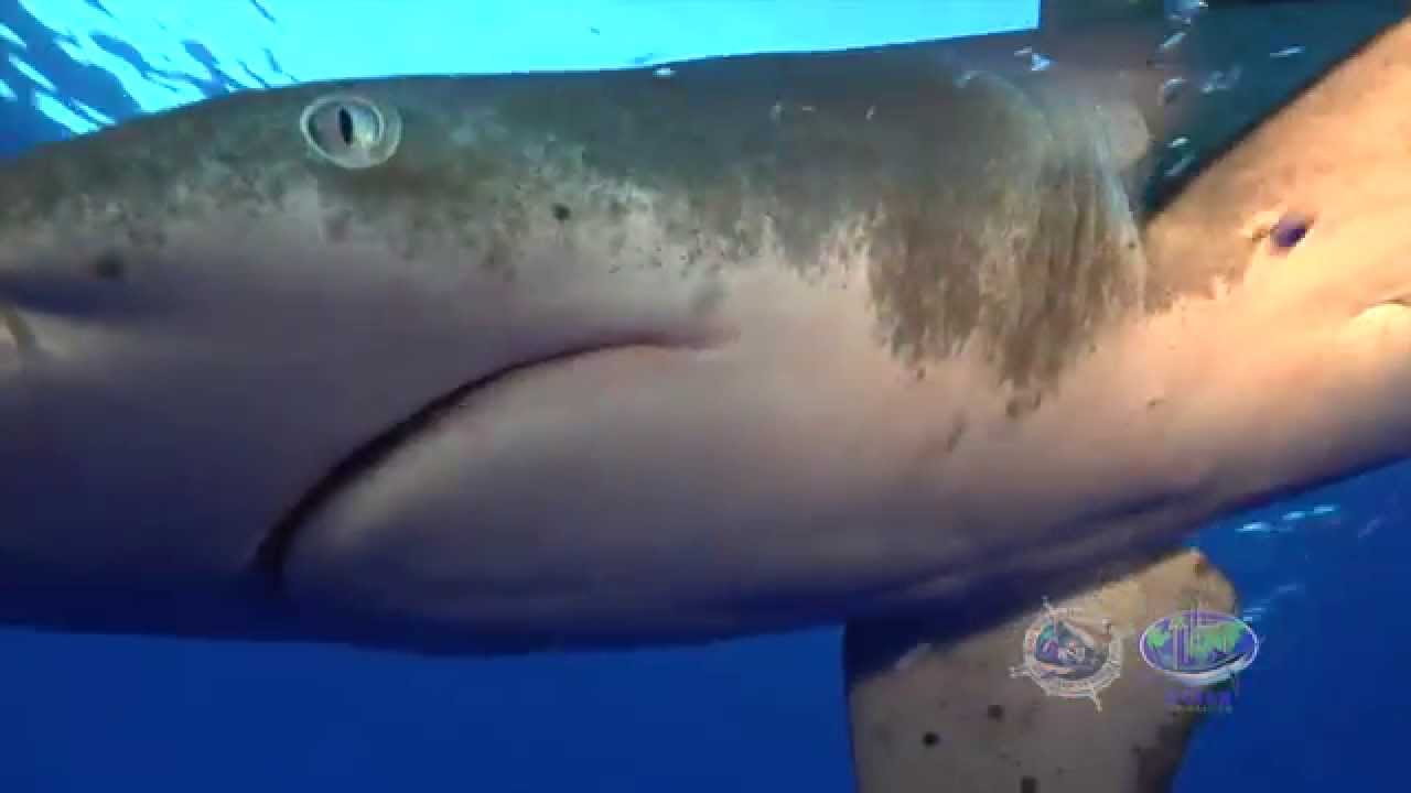 The Oceanic Whitetip Shark: A Guy Harvey Expedition