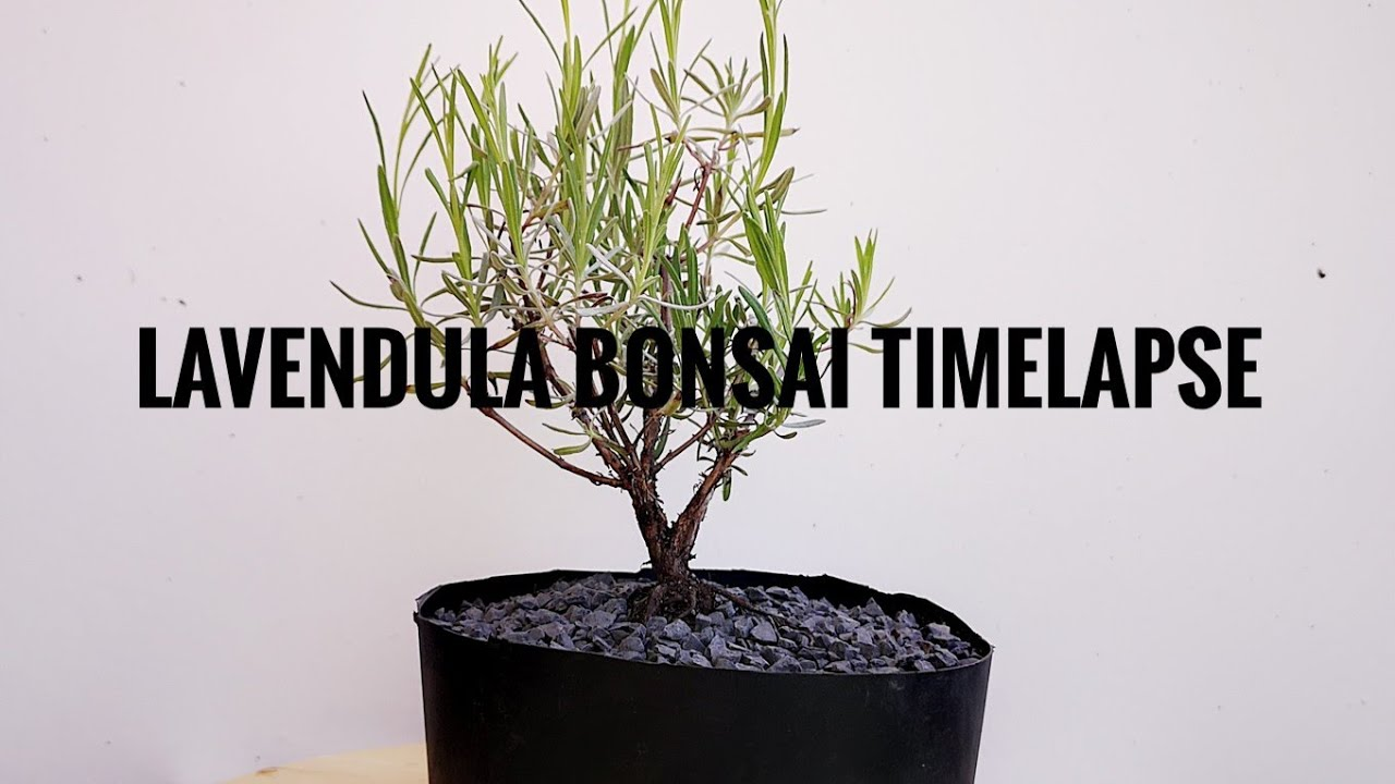 Lavender Bonsai Timelapse Plant Hunter Tv