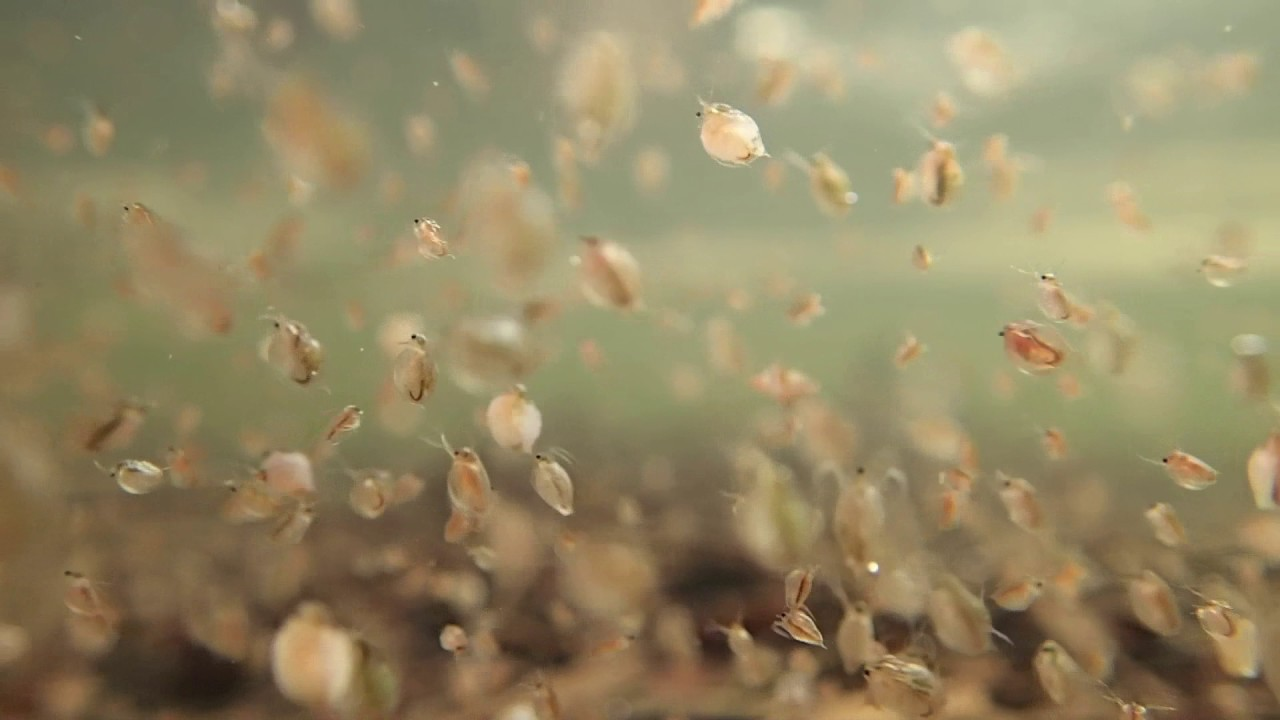 Daphnia Water Flea Youtube