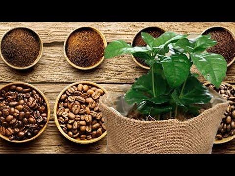 Разновидности кофейного дерева. Виды и сорта кофе!