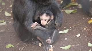 Adorable baby macaque born at ZSL London Zoo