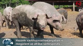 férgek a sertés tüneteinek kezelésére)