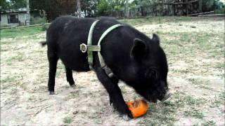 [teacup pigs] Henry the Mini Pig has an adventure