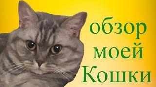 Обзор на кошку. Видео обзор на шотландскую кошку Бусинку.