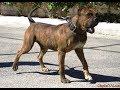Spanish Alano / Dog Breed