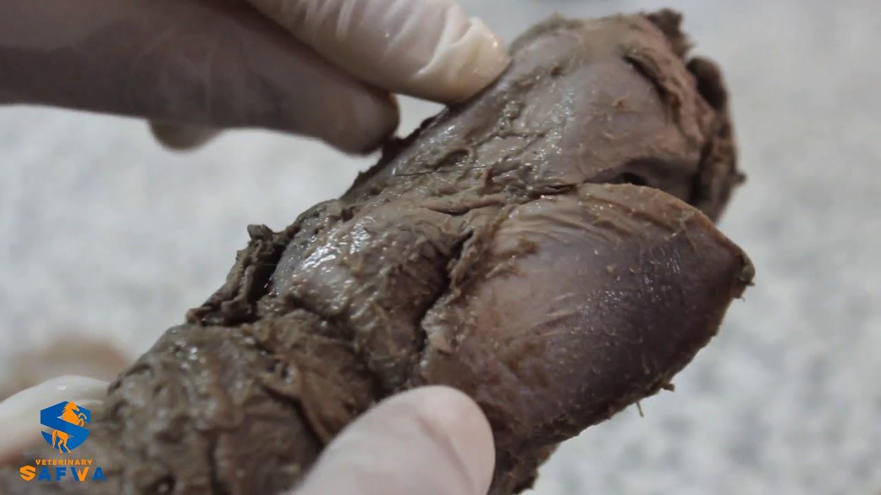 Larynx of horse ,1st year, veterinary anatomy - YouTube