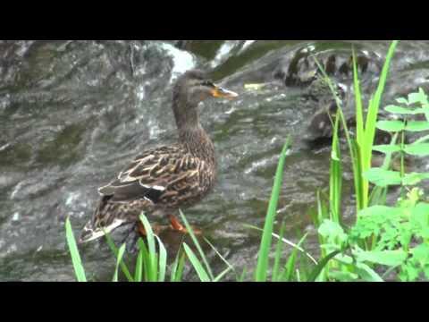 Familia de patos salvajes aprendiendo a nadar en el río de Candás