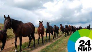 Кабардинская лошадь: второе рождение - МИР 24