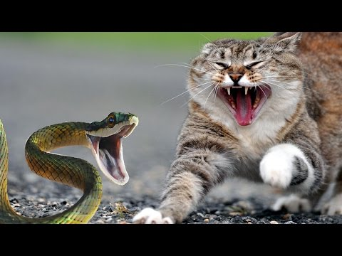 Thumbnail: Brave Cats Fight Snakes