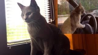 Плюсы и минусы домашней кошки/Стоит ли заводить кошку в доме?