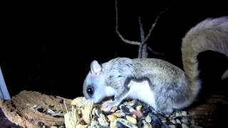 Southern Flying Squirrel Visits Window Feeder 12/4/2014