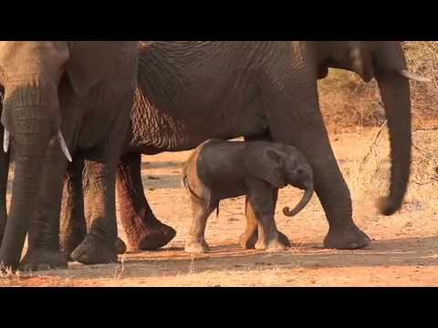 1 Hour Old Elephant Calf