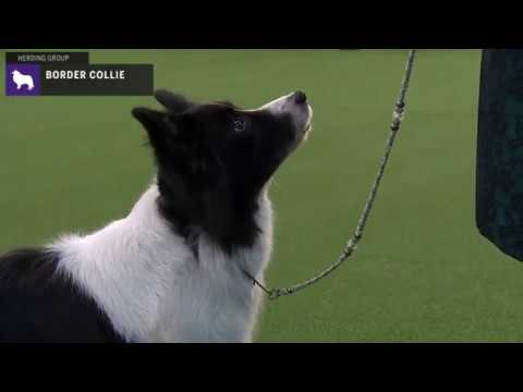 Border Collies | Breed Judging 2020