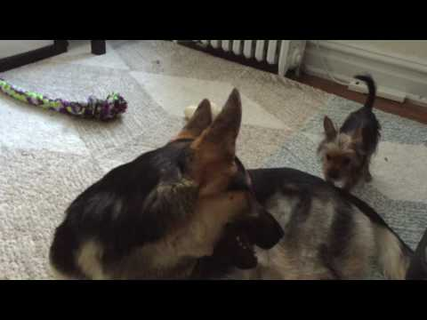 German Shepherd playing with Tiny Yorkie