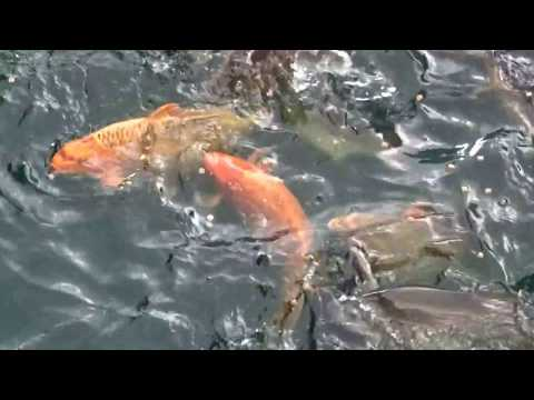 Large fish in river next to Princes Quay Shopping Centre Hull Yorkshire England UK