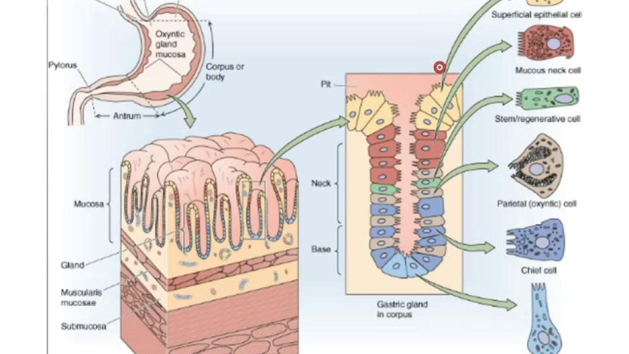 physiologie de la digestion