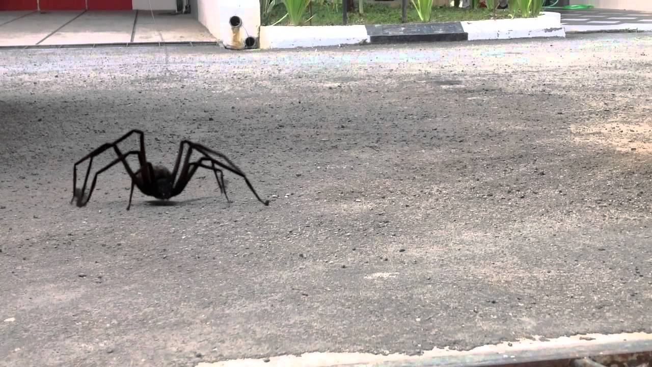 Download Big spider/laba laba besar